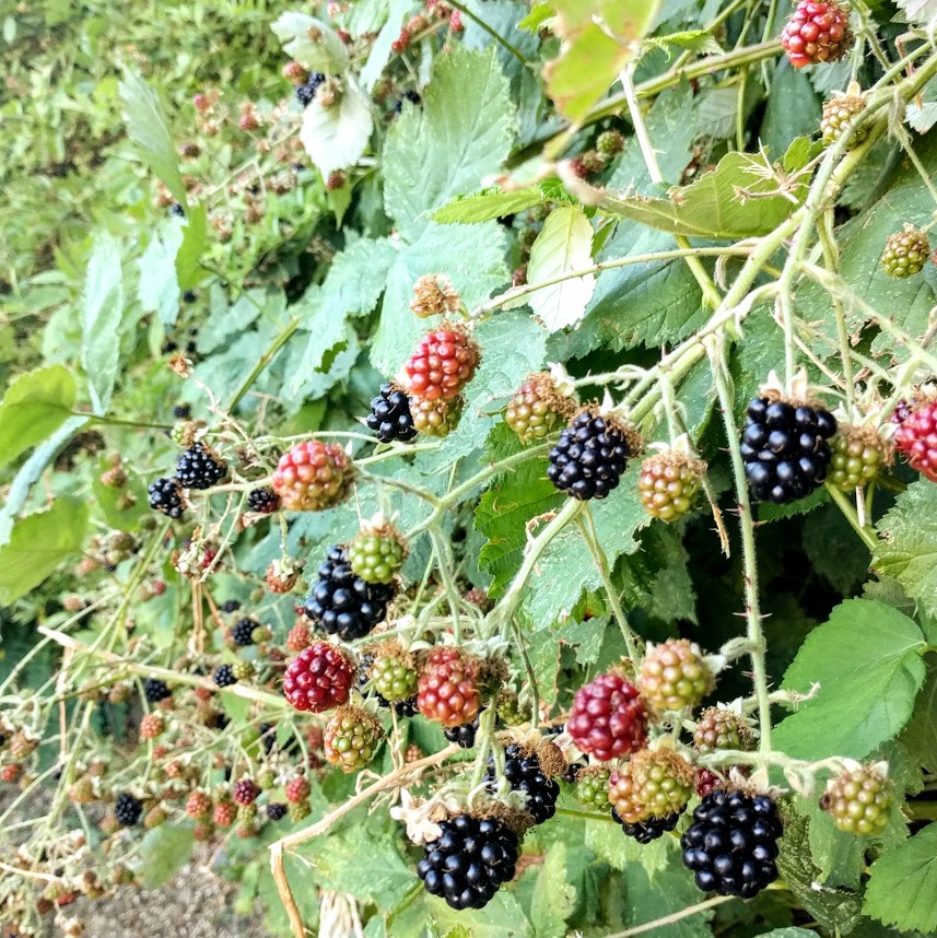 Blackberry Thickets Forever