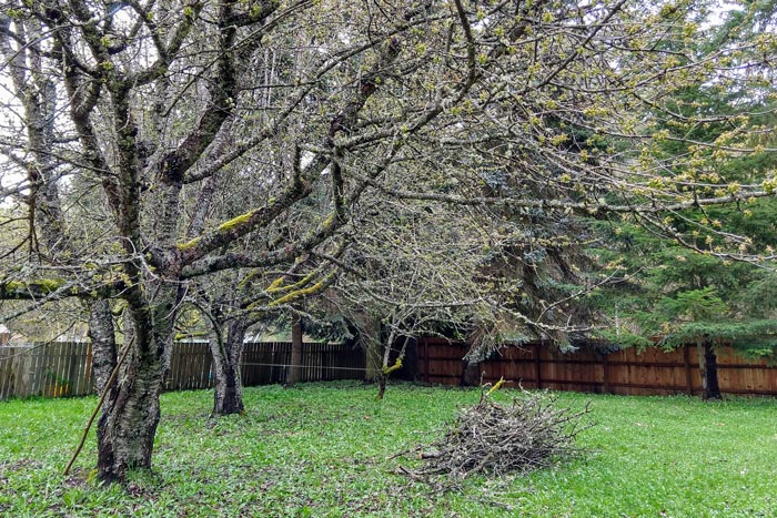 1 Year in Edible Yardwork: Cherry Tree