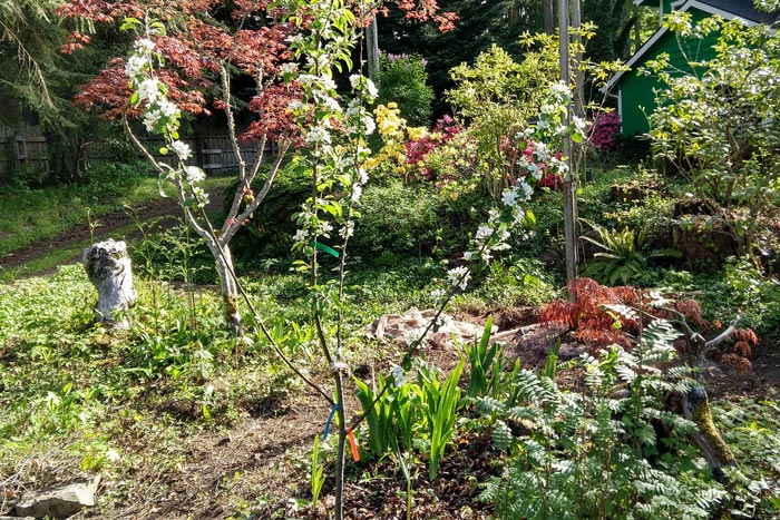 1 Year in Edible Yardwork: Apple Tree