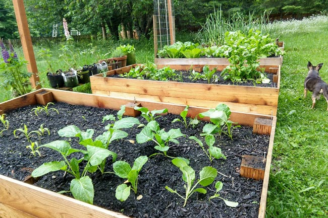 Edible Yardwork: Garden Beds, June